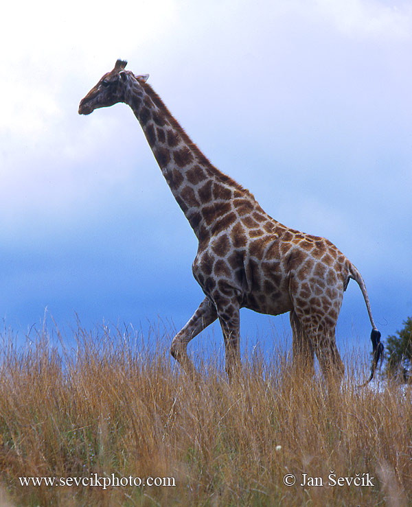 Photo of žirafa kapská Giraffa camelopardalis Giraffe Steppengiraffe