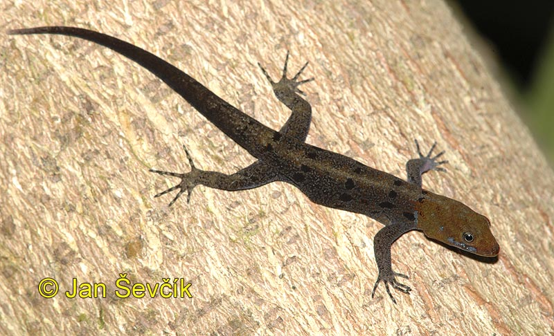 Photo of gekon Gonatodes albogularis, Yellow headed Gecko, Gecko de Cabeza Amarilla