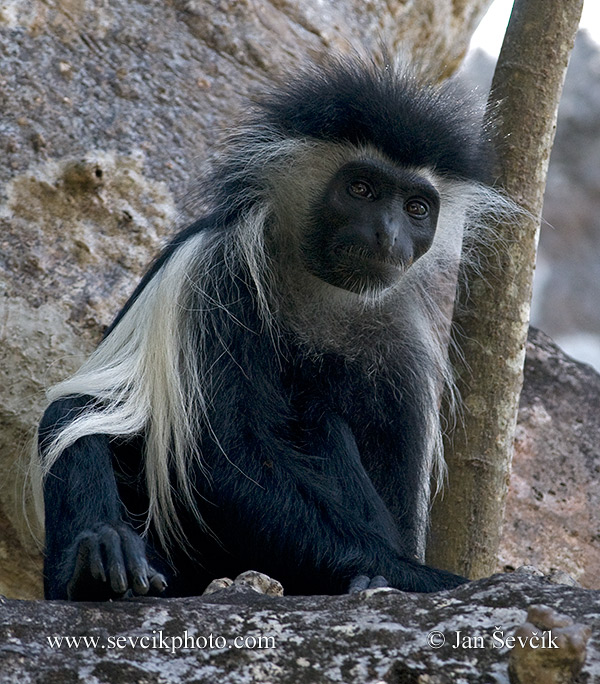 Photo of  guareza angolská Colobus angolensis Angola Pied Colobus Angola Stummelaffe Mbega