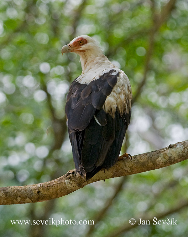 Photo of orlosup palmový Gypohierax angolensis Palm-nut Vulture Palmgeier