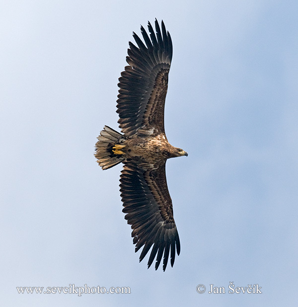 Photo of orel mořský Haliaeetus albicilla White-tailed Eagle See Adler