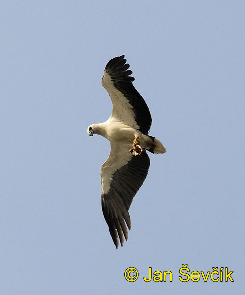Photo of orel bělobřichý Haliaeetus leucogaster White bellied Sea Eagle Wiesbauch Seeadler