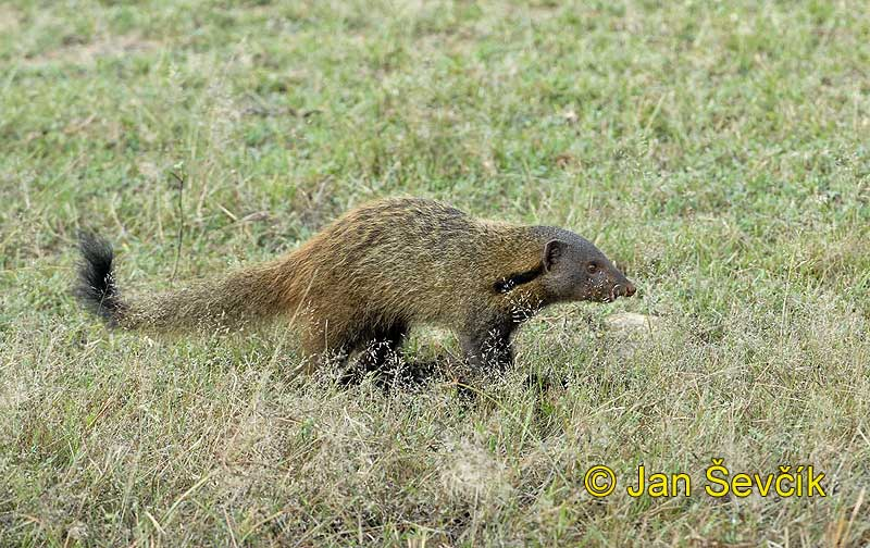 Photo of promyka Herpestes vitticollis Stripe necked Mongoose Nacken streifen Mungo