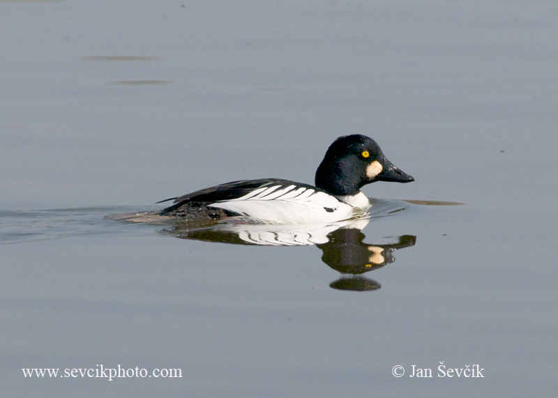 Photo of hohol severní Bucephala clangula Goldeneye Schellente