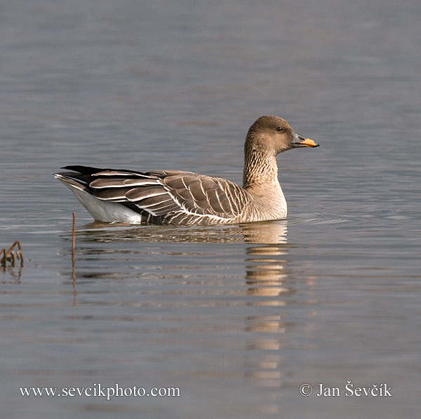 Photo of husa polní Anser fabalis Bean Goose Saatgans