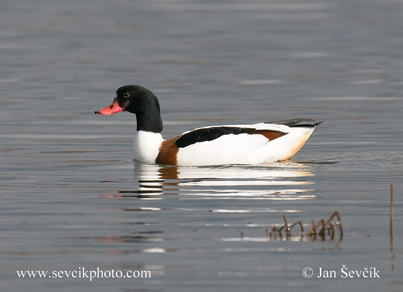 Photo of husice liščí Tadorna tadorna Common Shelduck Brandente