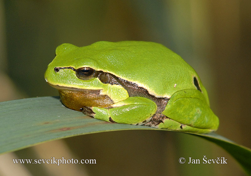 Photo of rosnička zelená Hyla arborea Common Tree Frog Laubfrosch
