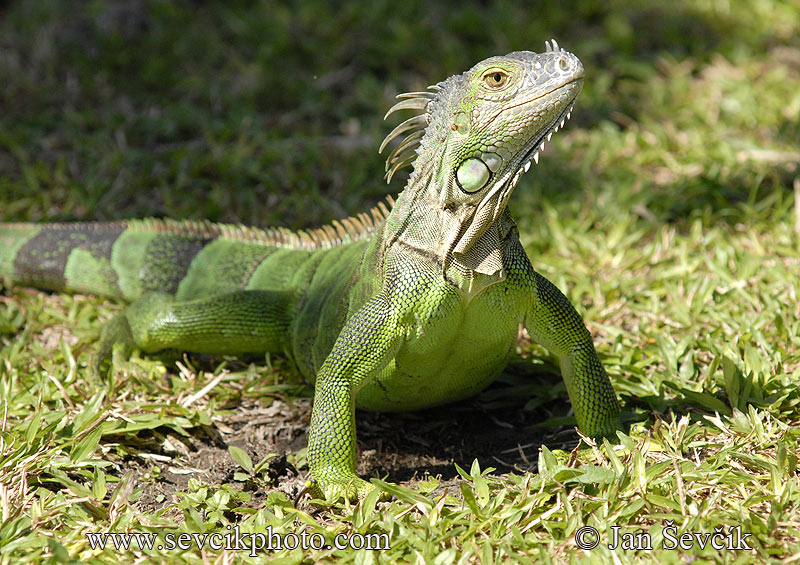 Photo of leguán zelený Iguana iguana Green Iguana
