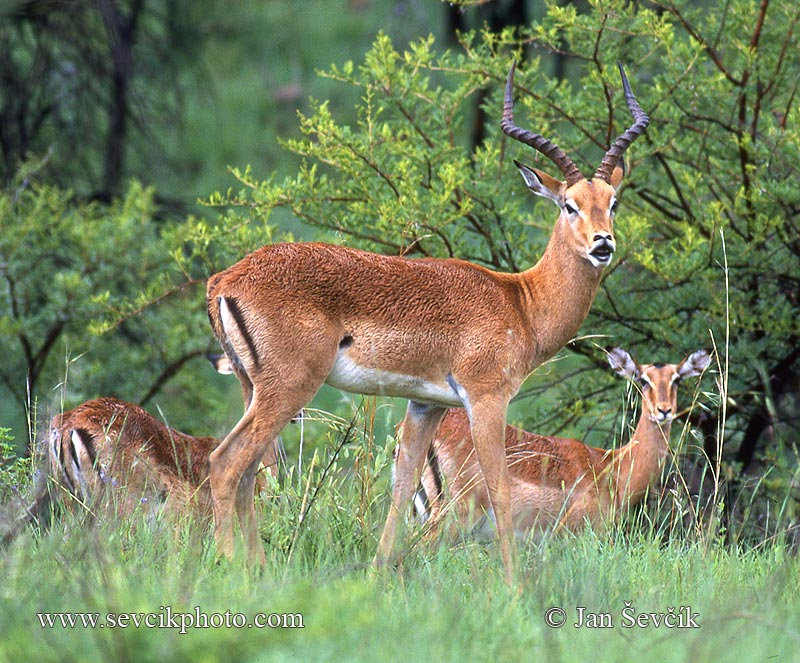 Photo of antilopa Impala Aepyceros melampus Schwarzfersenantilope