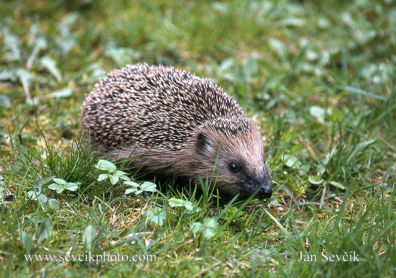 Photo of ježek západní Erinaceus europaeus Western Hedgehog Westigel