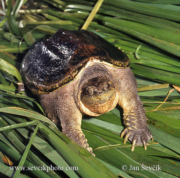 Photo of Kajmanka dravá Chelydra serpentina Common Snapping Turtle Schnappschildkroten