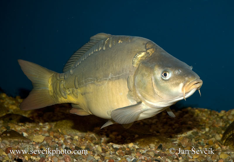 Photo of kapr obecný Cyprinus carpio Karpfen  Common carp