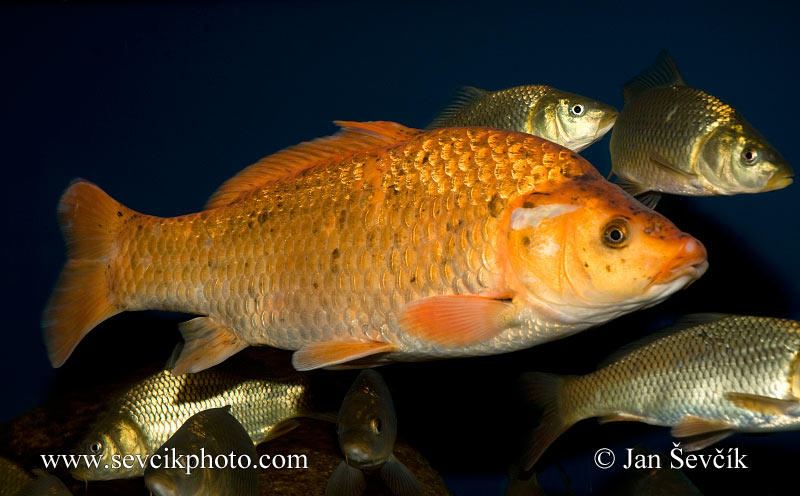 Photo of kapr Koi Cyprinus carpio Karpfen  Common carp