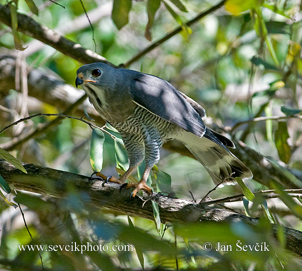 Photo of jestřábec pestrý Kaupifalco monogrammicus Lizard Buzzard Sperber Bussard