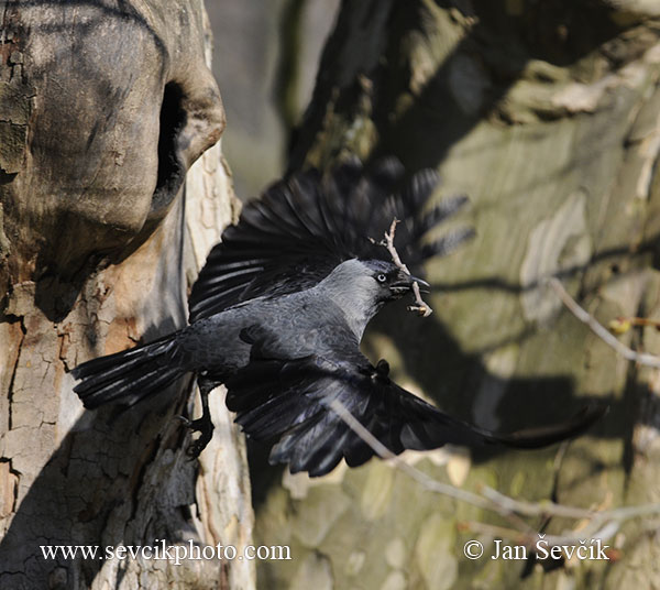 Photo of kavka obecná Corvus monedula Jackdaw Dohle