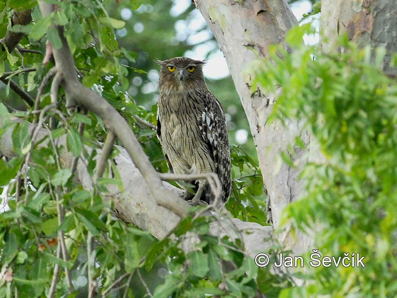 Photo of ketupa rybí Ketupa zeylonensis Brown fish Owl Ceylon Fish Eule