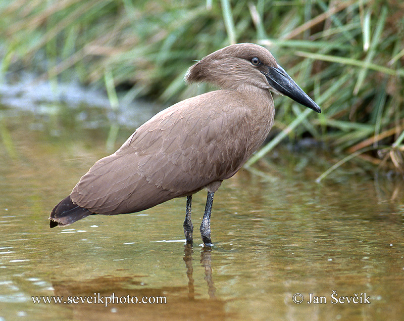 Photo of  kladivouš africký Scopus umbretta Hamerkop