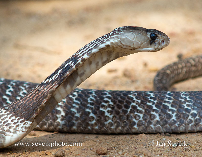 Photo of kobra indická Naja naja Indian Cobra Kobra