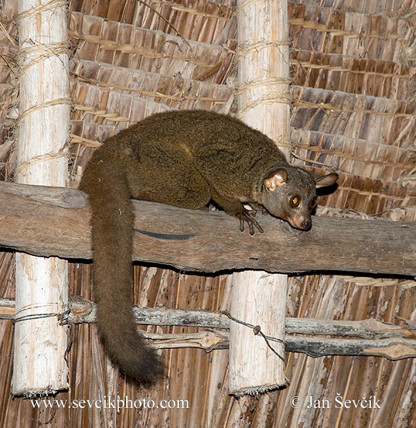 Photo of komba garnettova Otolemur garnetii Small-eared Galago Garnett Galago
