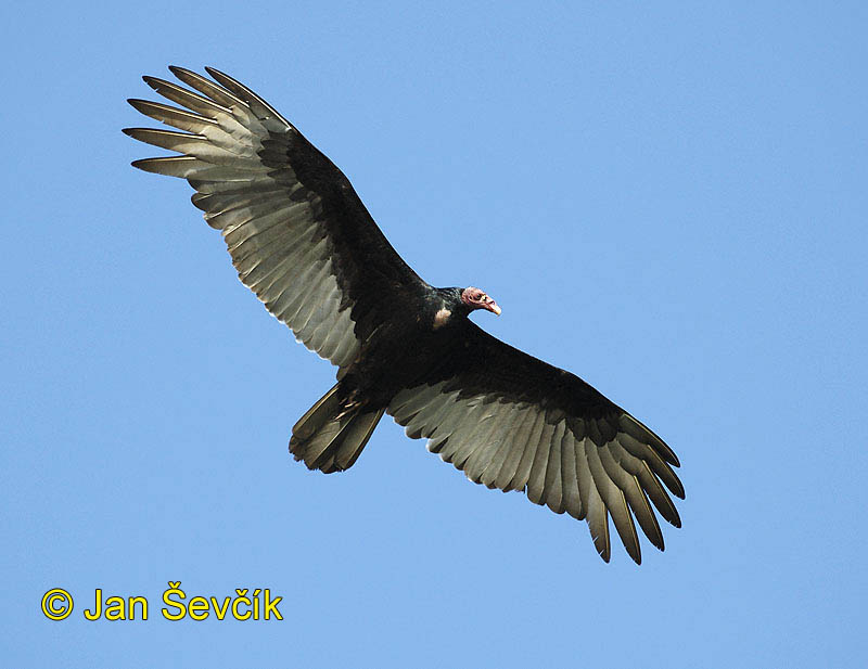 Photo of kondor krocanovitý, Cathartes aura, Turkey Vulture, Aura Gallipavo, Truthahngeier