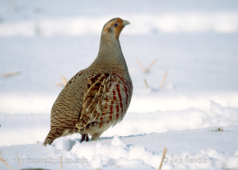 Photo of Koroptev polní Perdix perdix Rebhuhn Grey Partridge