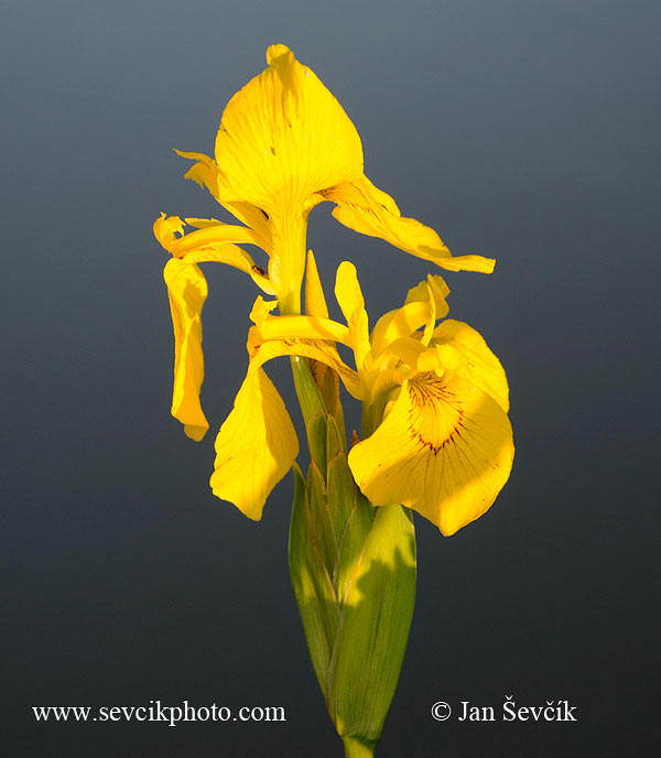 Photo of kosatec žlutý Iris pseudacorus Yellow iris Sumpfschwertlilie