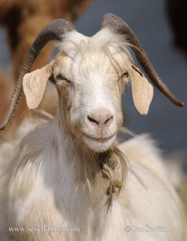 Photo of koza domácí Capra aegagrus hircus Domestic Goat