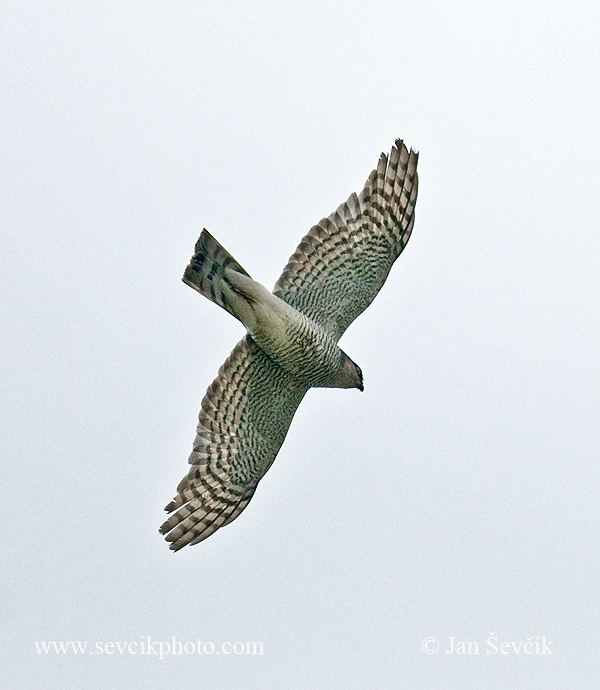 Photo of krahujec obecný Accipiter nisus Accipiter nisus Sparrowhawk Sperber Epervier d'Europe Gav
