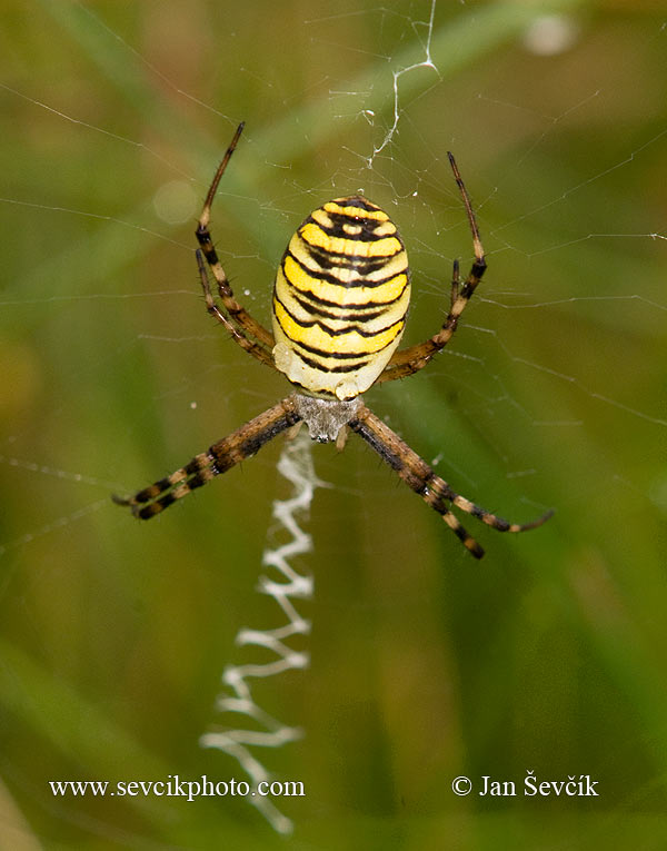 Photo of křižák pruhovaný Argiope bruennichi Orb weaving Spider Wespenspinne