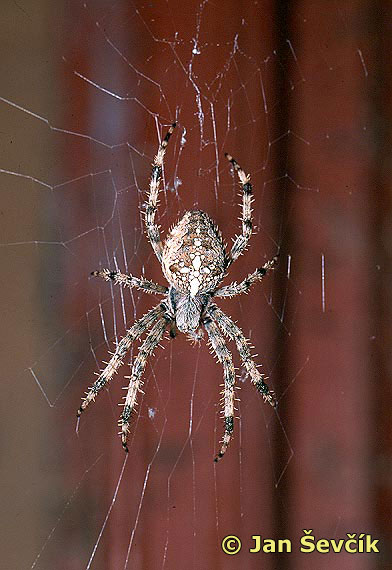 Photo of křižák, Araneus diadematus.