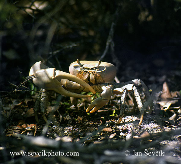 Photo of  Krab Cardisoma guanhumi crab Cuba