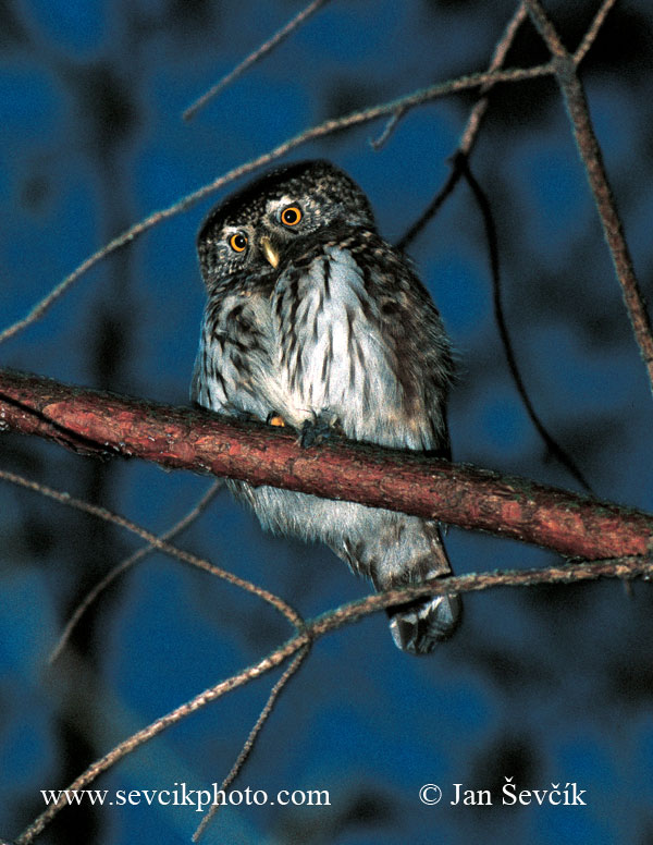 Photo of kulíšek nejmenší Glaucidium passerinum Pygmy Owl Sperlingskauz