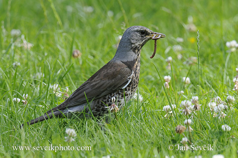 Photo of drozd kvíčala Turdus pilaris Wacholderdrossel Fieldfare