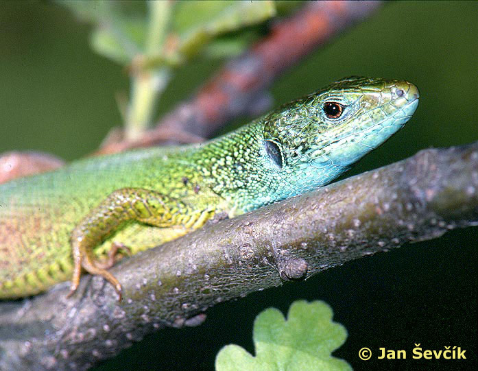 Photo of ještěrka zelená, Lacerta viridis, Green Lizard, Smaragdeidechse.