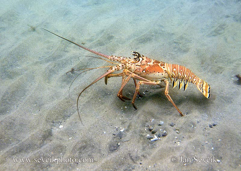 Photo of langusta Panulirus argus Spiny Lobster
