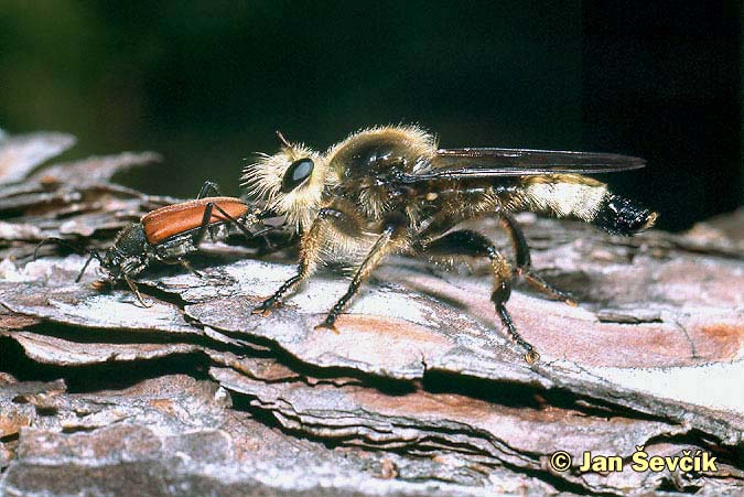 Photo of roupec Laphria flava, Gelbe Mordfliege.