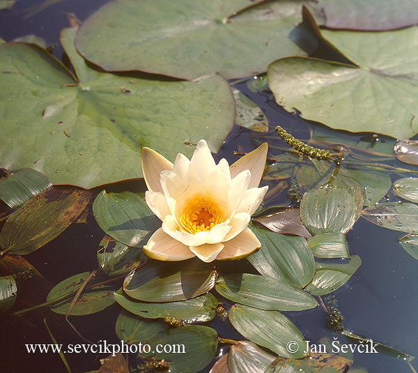 Photo of Leknín bělostný Nymphaea candida Snow-white Waterlily