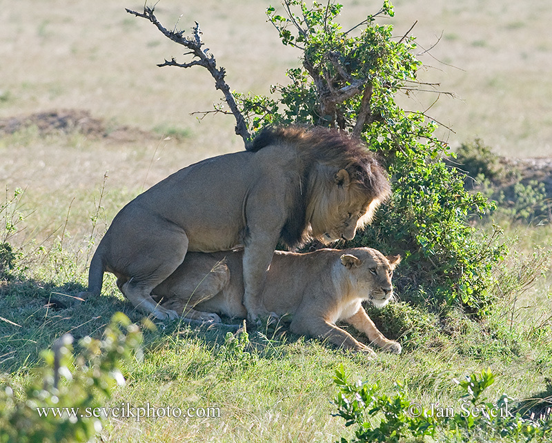Photo of  lev africký Lowe Panthera leo African Lion