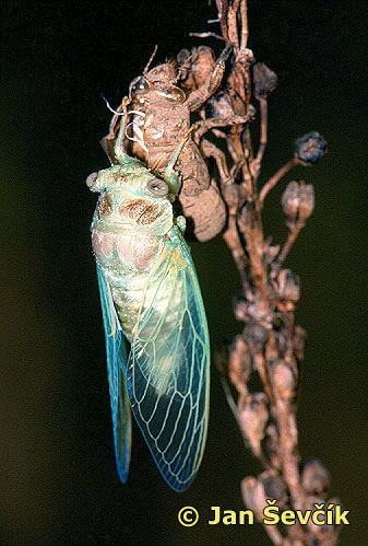 Photo of líhnuti cikády, come out of the cicada.