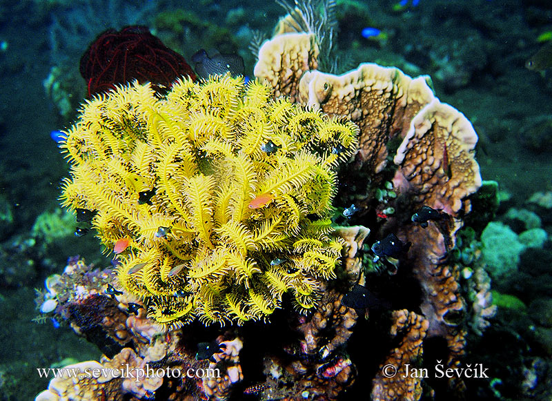 Photo of lilijice Comanthina sp. Feather Star
