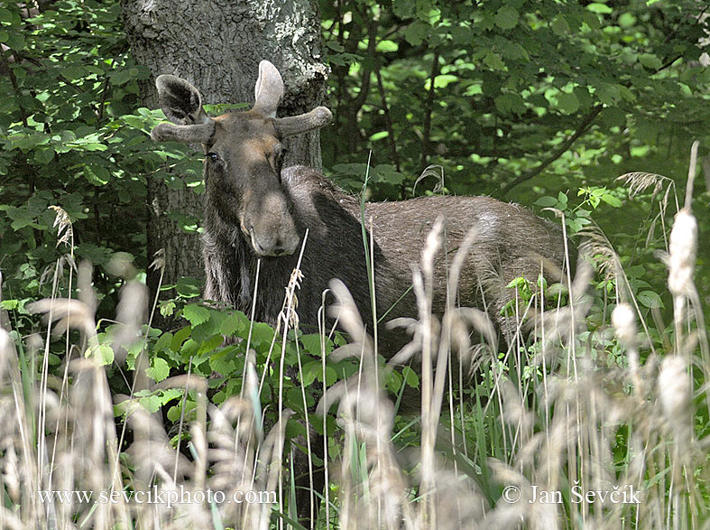 Photo of los Alces alces Moose Elch