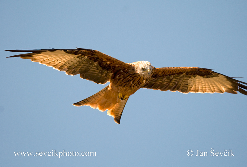 Photo of luňák červený Milvus milvus Red Kite Rotmilan