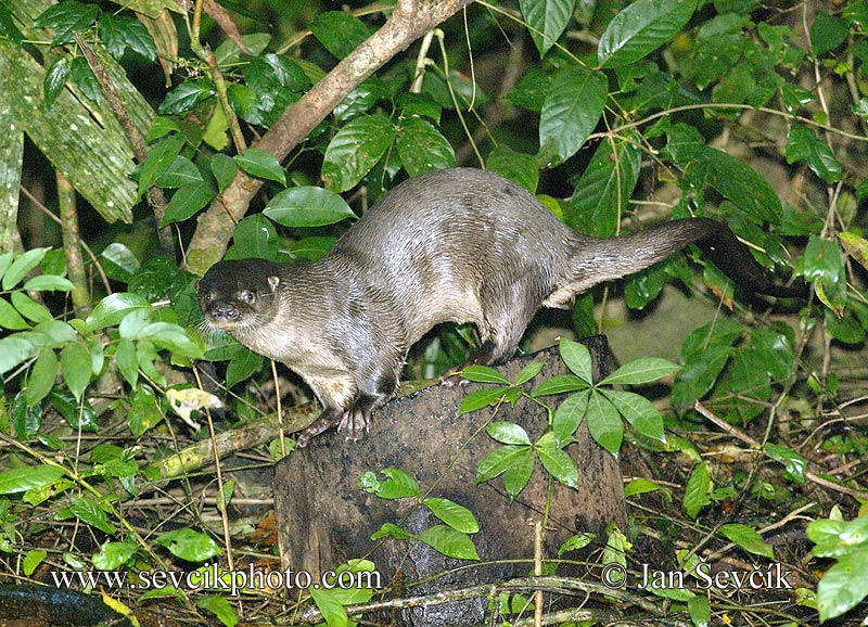 Photo of vydra dlouhoocasá Lutra longicaudis Neotropical Otter Nutria