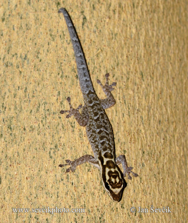 Photo of Gekon Lygodactylus mossambicus Yellow-headed Dwarf Gecko Gelbkopf-zwerggecko