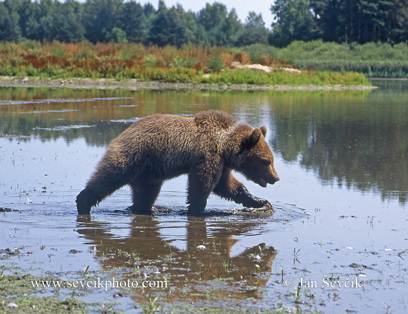 Photo of Ursus arctos Braunbär Brown bear medvěd hnědý