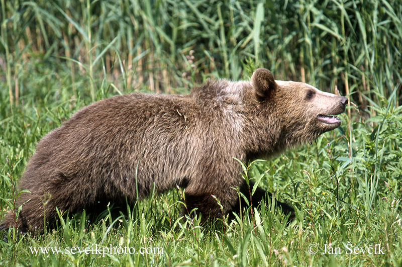 Photo of  medvěd hnědý Ursus arctos Braunbär Brown bear