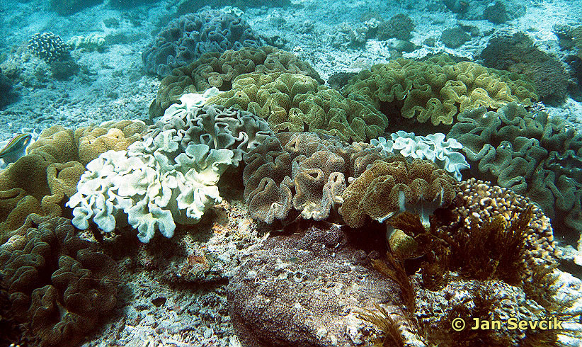 Photo of měkké korály, soft corals
