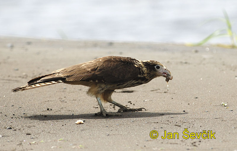 Photo of čimango žlutavý, Milvago chimachima, Yellow headed Caracara, Gelbkopf chimango