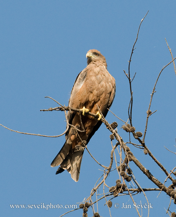Photo of luňák žlutozobý Milvus migrans aegyptius  Yellow-billed Kite  Schwarzmilan-aegyptius