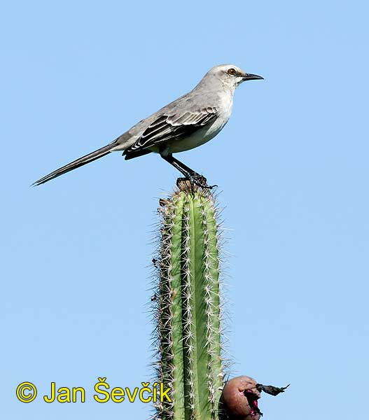 Photo of drozdec tropický Mimus gilvus Sinsonte Tropical Tropical Mockingbird Tropenspottdrossel